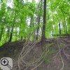 Lianen der Waldrebe
