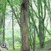 Stehendes Totholz im Laubwald