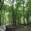 Blick in den Laubwald