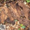 Fraßspuren im liegenden Totholz